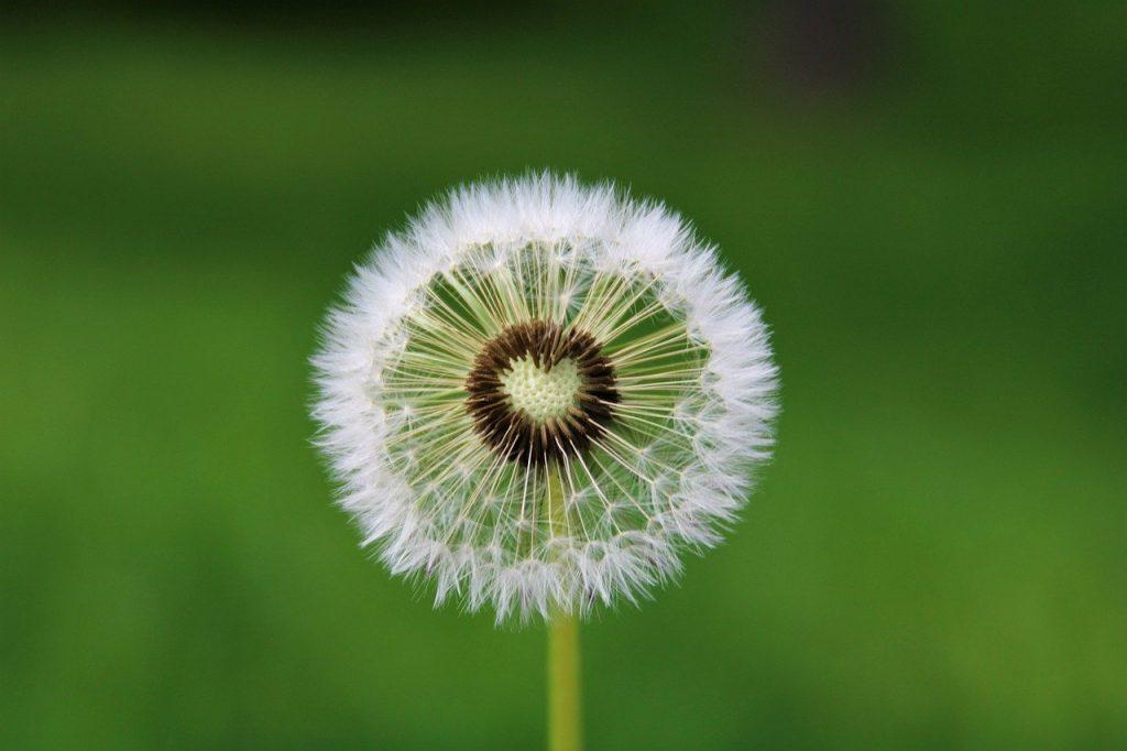 dandelion, heart, desire-4163657.jpg
